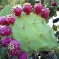 Prickly-pear-cactus-120x120